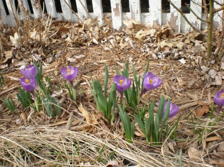 crocus-purple