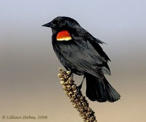 red-winged blackbird_LillianStokes